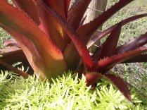 Burgundy Aechmea Bromeliad
