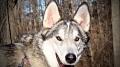 Kane, a timber wolf