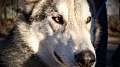 Closeup, Kane the timber wolf