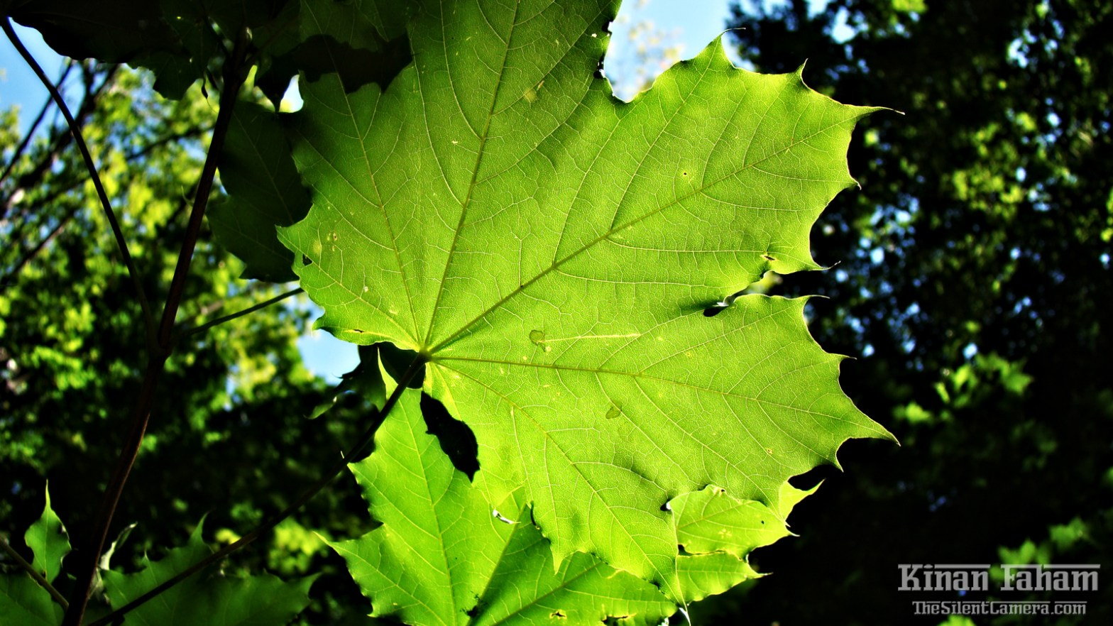 Green Leaf with Other leaves leaving their shadows. Seen on Tunxis Trail in Barkhamsted, CT