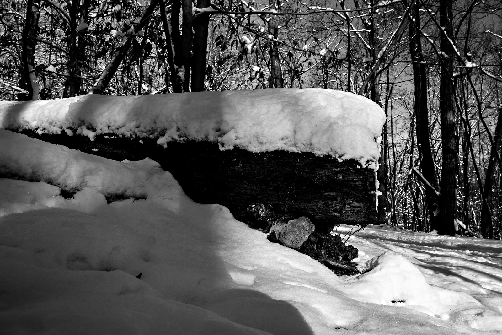 Predator Trees Are Everywhere. Mount Misery trail after a snow storm. Valley Forge National Park, PA