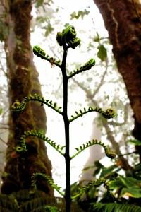 Sprouting Fern, Kohala Ditch System, White Road Hike, Kamuela Hawaii, Waimea, The Big Island, Hiking, Photography, Tropical Rainforest