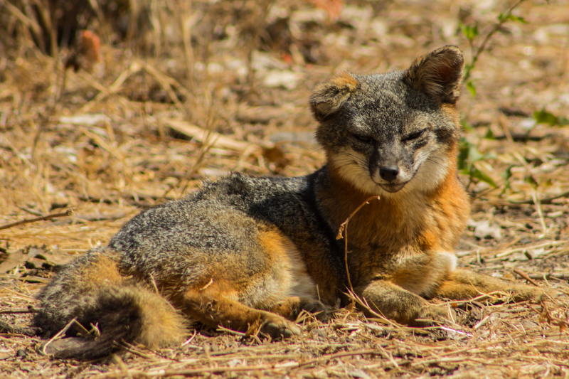 Island Fox, Santa Cruz Island, Channel Island's National Park