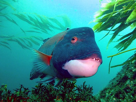 Sheepshead Fish: Vulnerable and Gender Fluid Yet Mighty Tasty