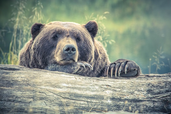 brown grizzly bear looking sad claws