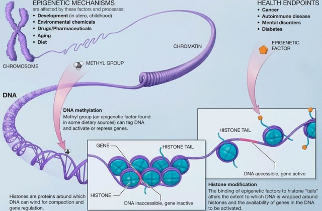 epigenetics diagram mechanisms of action DNA methylsation histone modification