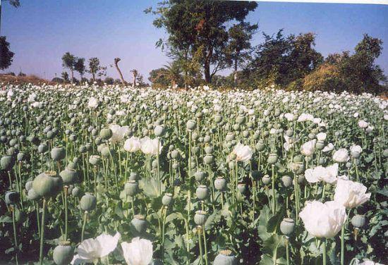 poppy plantation field opium opioid