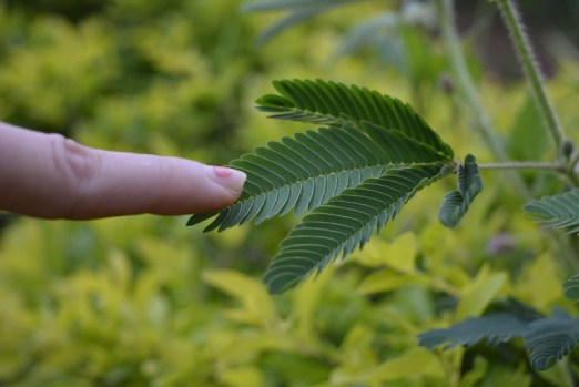 finger touching a mimosa pudica touch me not plant