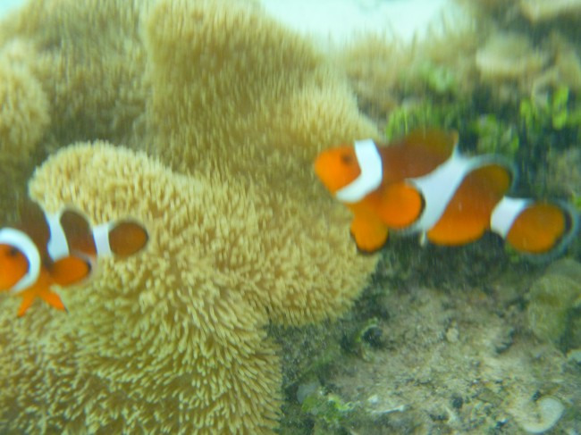Clown Fish in Bulog 2 Island Coron,Palawan