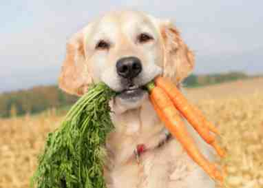 Dog that has pulled a bunch of carrots out from the field.