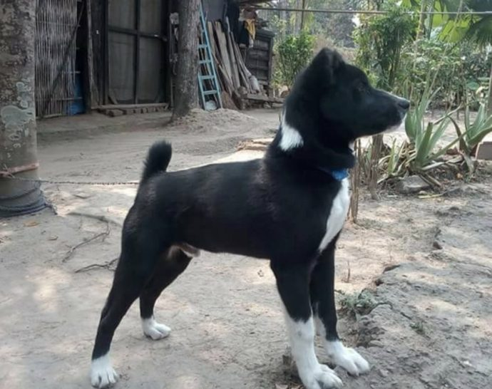 The Tangkhul hui is a powerful dog breed from India.
