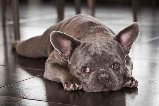 8 fabulous french bulldog colors (best frenchie coats)