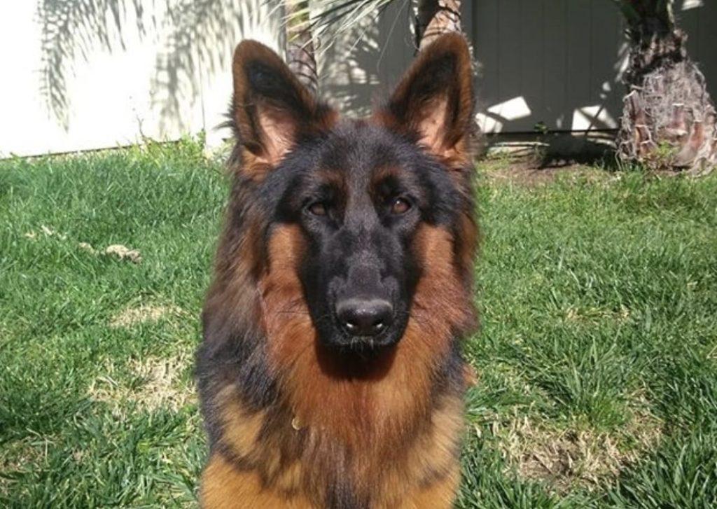 10 brilliant german shepherd