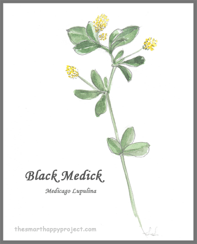 Black Medick hand painted image