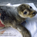 seal pup injury