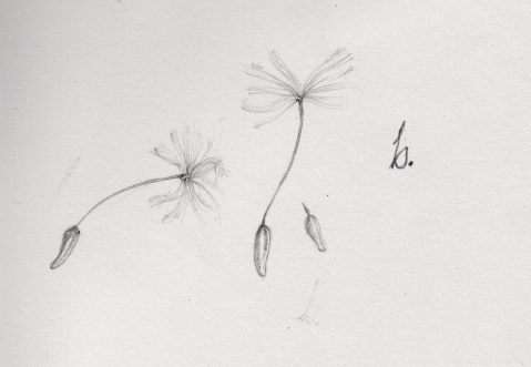 floatings of dandelion are seeds that travel