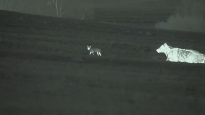 Coyote Hunting At Night