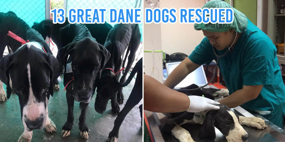 Great Dane Gets Rescued