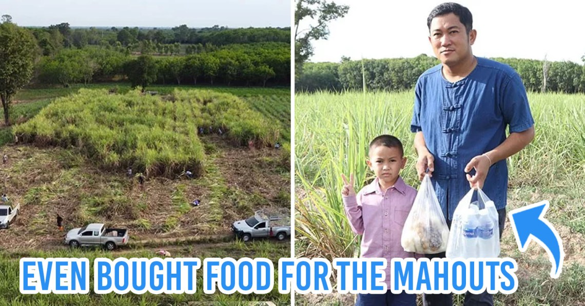Thai Plantation Owner Gives Away 60 Tons Of Sugarcane To Feed Unemployed Elephants
