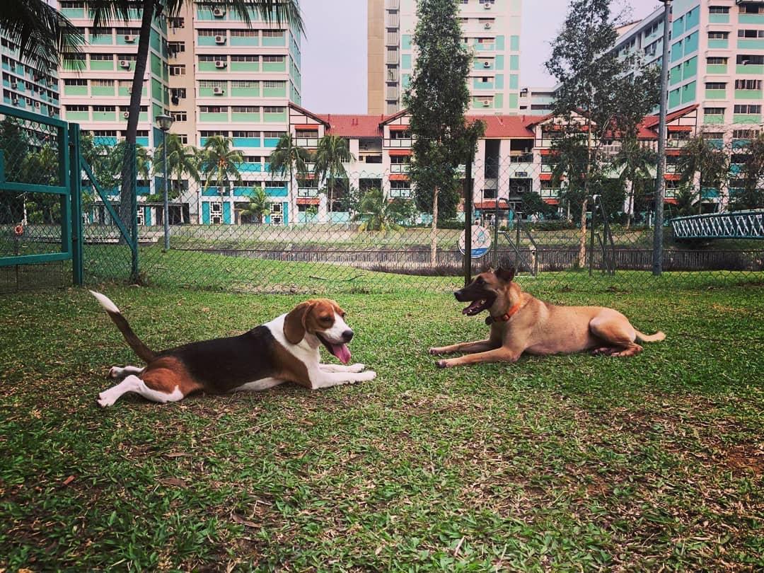 Dog runs Singapore - pasir ris dog run block 550