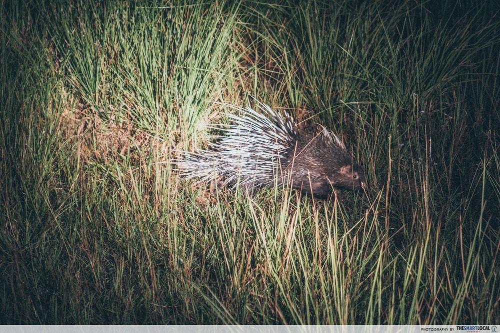 lam ta khong night safari porcupine