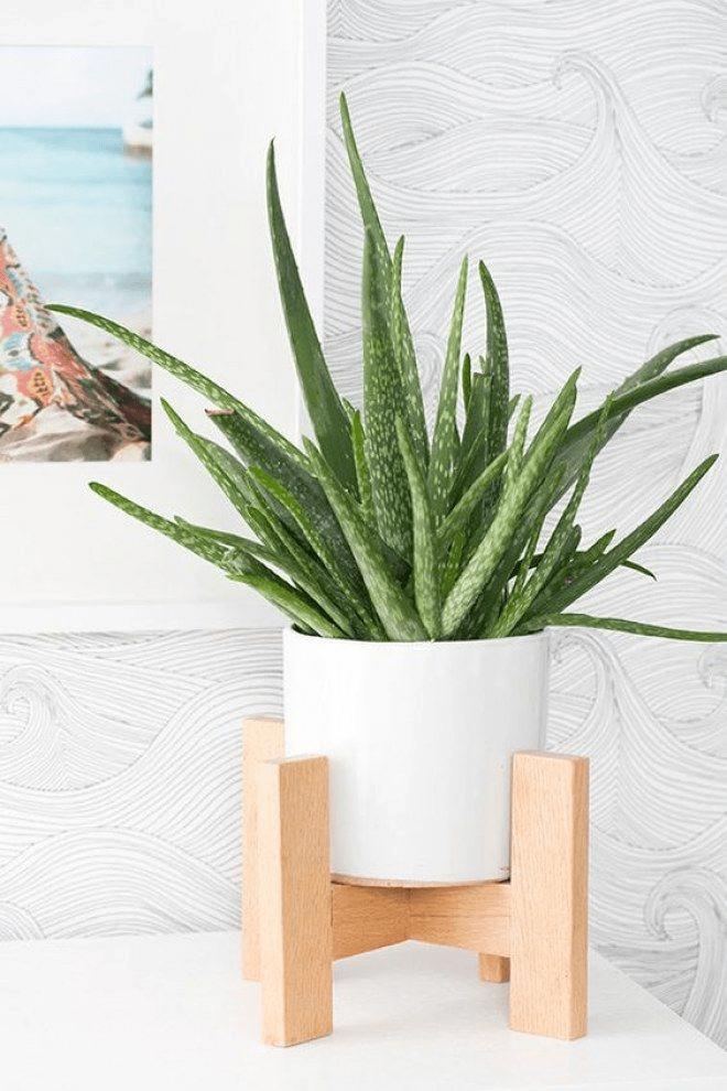 aloe vera plant in a white pot