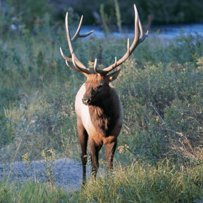 Elk Rutting: A Stunning Display in the Smoky Mountins