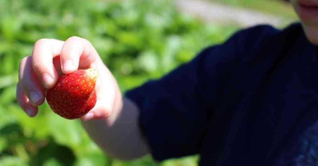 Rutherford Farm, Maryville TN Strawberry Picking