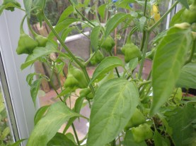 Bartlett's bonnet chilli