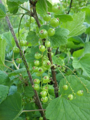 Green red currants