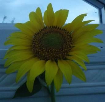 sunflower 4