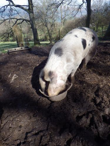Nancy pig