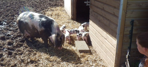 Polly and piglets, watched over by Martha