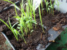 Lemongrass seedlings