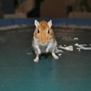 Mouse Races