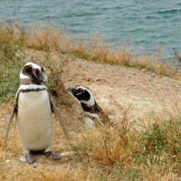 Mischievous Photobombing Penguin