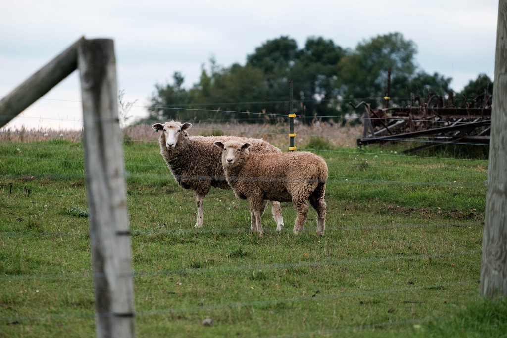 sheep-grey-post