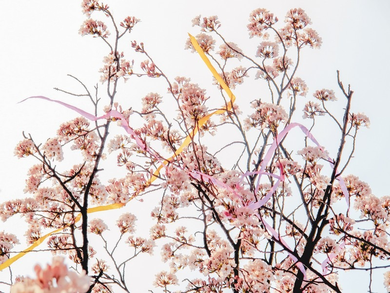 Where To See Cherry Blossoms In Korea