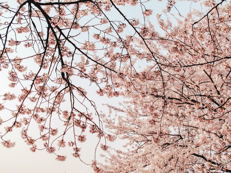 Where To See Cherry Blossoms In Korea,Small Square Kitchen Design Layout Pictures