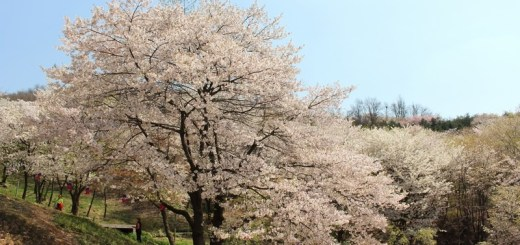 Ansan Mountain, Seodaemun-gu, Seoul, Korea, cherry blossoms