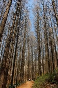 Ansan Mountain, Seodaemun-gu, Seoul, Korea, meta sequoia