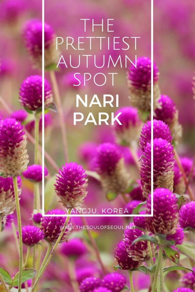 Nari Park, Yangju, Korea: Nari Park in Yangju, Korea is the prettiest place in all of Korea come autumn. From the Kochia flowers to the cosmos, Whirling Butterflies and Globe Amaranth, there are expansive flower fields unlike anywhere else in the country. For the best autumn picture setting, check out this gorgeous park in South Korea.