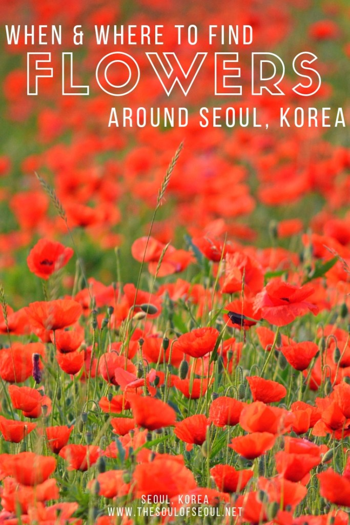 When & Where To Find Flowers Around Seoul, Korea: Once spring is in the air, the hot topic is flowers flowers flowers. In Seoul, Korea there are gardens, parks, and more around presenting gorgeous places to peruse blooms. Here is where and when to see flowers in Seoul, Korea.