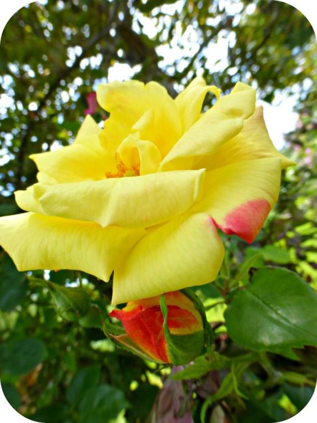 Nan's Rose