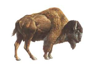 Ancient bison. Credit: La Brea Tar Pits.