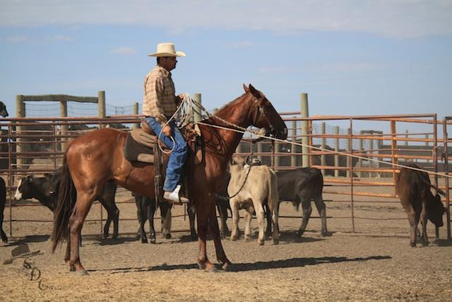 cowboys, buckaroo roping, buckaroos, vaquero style horsemanship, ranch roping, ranching, ranch life, horses