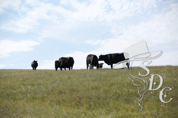 south dakota cattle, south dakota cowgirl photography, ranching in south dakota, ranch life, cattle in south dakota, the south dakota prairie