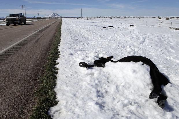 dead cattle, winter storm atlas, south dakota blizzard