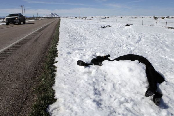 dead cattle, winter storm atlas, south dakota blizzard