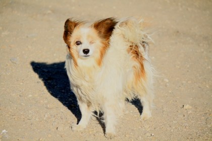 south dakota cowgirl photography, papillon, papillon dogs, papillon photos